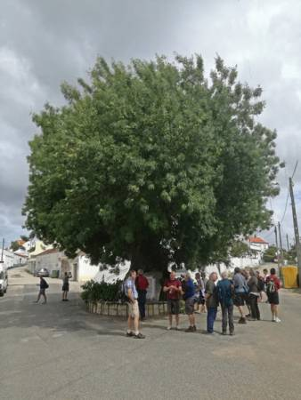 Ash tree at Azambujeiro dos Carros